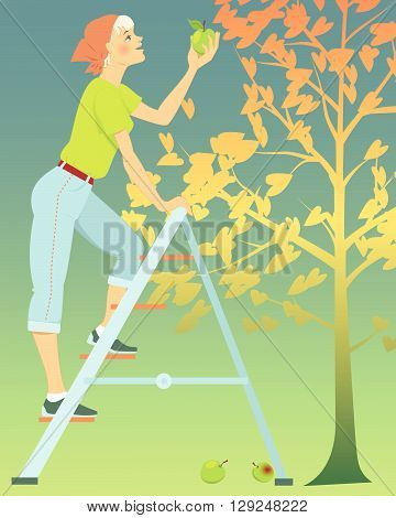Woman picking apples from a tree, standing on a ladder
