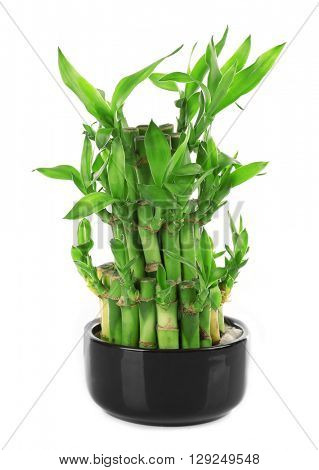 Green bamboo tree in pot isolated on white
