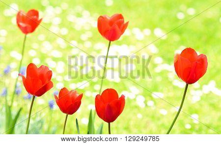 Red tulips in garden on green grass background. Red tulips. Tulip in garden. Tulips in grass.