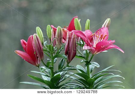 Red Lily plant with flowers in rain