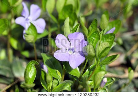 Periwinkle blue spring flowers in the garden