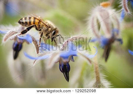 honey bee apis mellifera on Borrago flowers