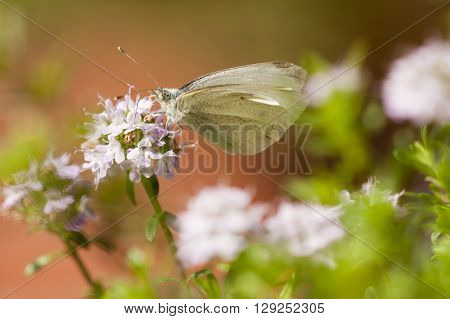 White butterfly sucking nectar from small flowers