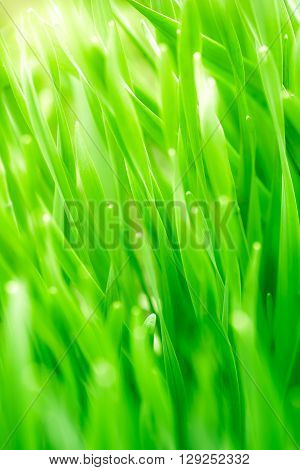 Close up of fresh thick grass with water drops in the high sunrise