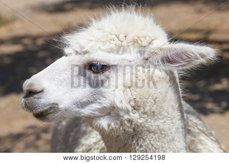 Close-up of  white llama's head in sunlight