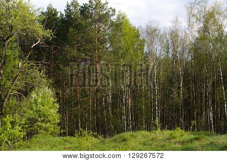 Birch grove on the border with Belarus and Russia. Located in Ukraine, Sumy region, Polissya