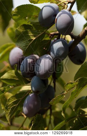 Beautiful ripe organic plums on a tree