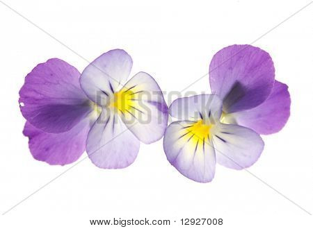 pansy over white background