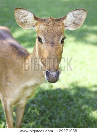 Roe deer on the green grass. Close up