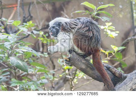 Saguinus Oedipus Cotton-top tamarin, over a branch