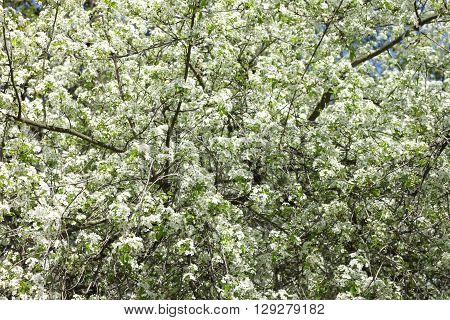 Spring blossom background, beautiful white flowers. Freshness, fragrance and tenderness.