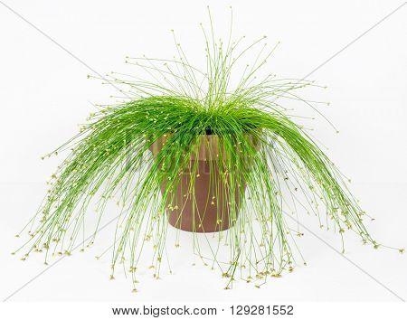 Fiber Optic Grass,
