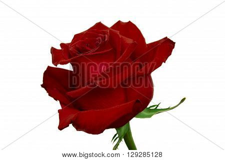 maroon roses blossomed out flower isolated on white background