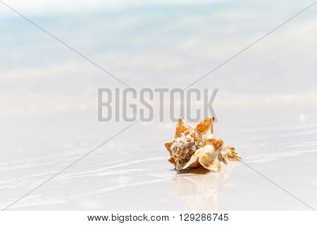 Sea shell on the sandy beach, summer background