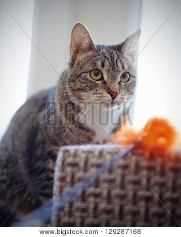 Portrait of a striped cat with white moustaches with a toy