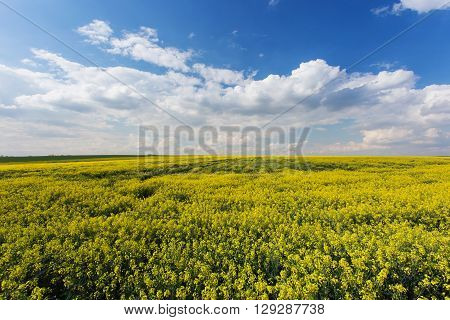 Rape field. Yellow flowers in daylight cloudy blue sky. Rapeseed cultivation an ingredient in biofuels. Questionable environmental benefit.
