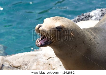 Hungry Seal
