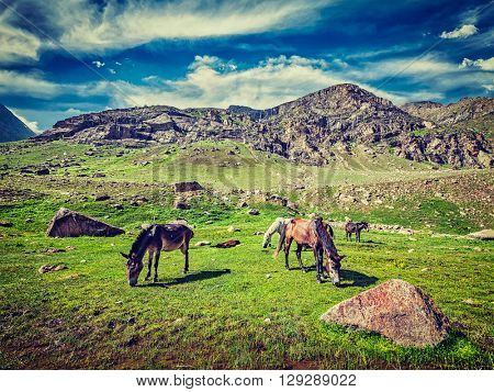 Vintage retro effect filtered hipster style image of horses grazing in Himalayas. Lahaul valley, Himachal Pradesh, India
