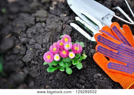Beautiful marguerite flowers and garden tools view from above