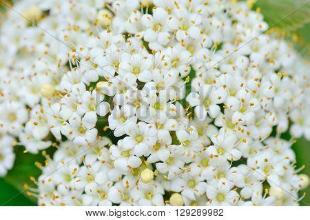 Blooming Viburnum lantana close up. Floral background
