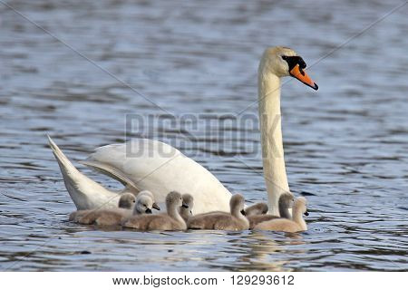 A mute swan (Cynus olor) swimming on a pond with nine cygnets.