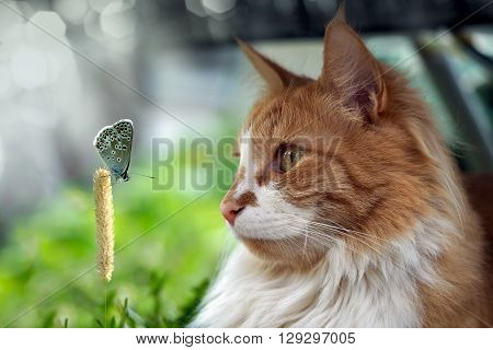 The cat looks at a butterfly. Big cat muzzle. Beautiful butterfly on spikelet.