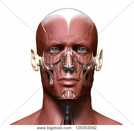 anatomy 3d head model with face muscles