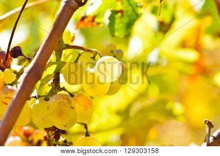 white ripen grapes in the vineyard in autumn