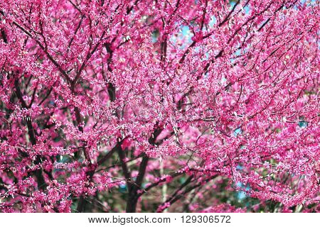 pink flower on tree branches blossoms in a garden, beautiful spring landscape at bright day