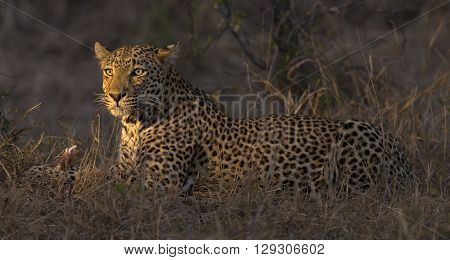 Leopard lay down in the darkness to rest and relax
