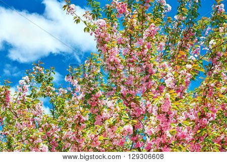 Sakura branches blossoms in a flower garden on sky background, beautiful spring landscape at bright day