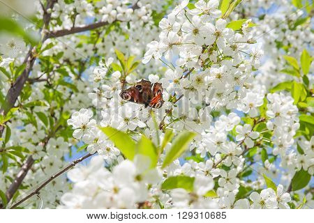 Beautiful flowering cherry trees. Peacock butterfly on cherry blossom in spring day. Blossoming of cherry flowers in spring time with green leaves natural floral seasonal background.