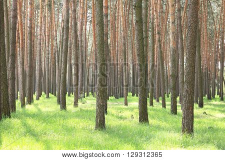 Pine forest in summer. Pine trees in clear warm weather. Beautiful landscape.