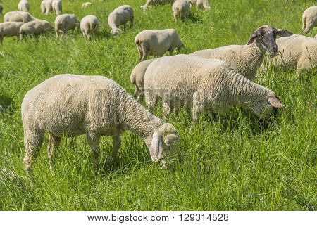 sunny idyllic spring time scenery including a flock of sheep on a meadow in Southern Germany