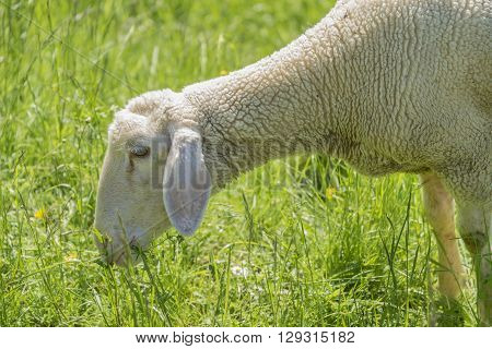 sunny idyllic spring time scenery including a grazing sheep on a meadow in Southern Germany