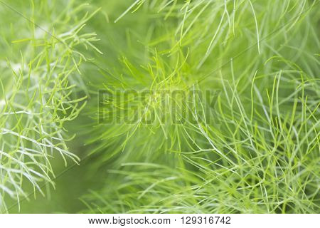 Fennel green close-uo garden leaf leaves aromatic plant