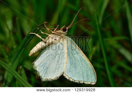 Common Emerald moth (Hemithea aestivaria) on grass. British insect in the family Geometridae the geometer moths