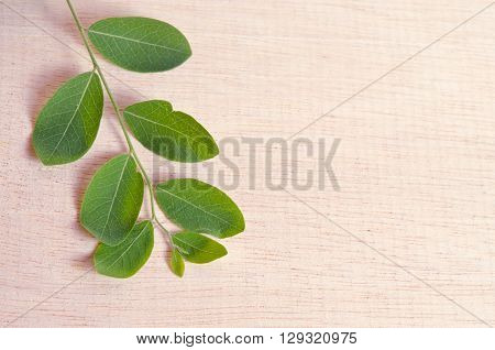 Moringa (Other names are Moringa oleifera Lam. MORINGACEAE Futaba kom hammer vegetable hum hum bug bug Hoo) leaf on wooden board background