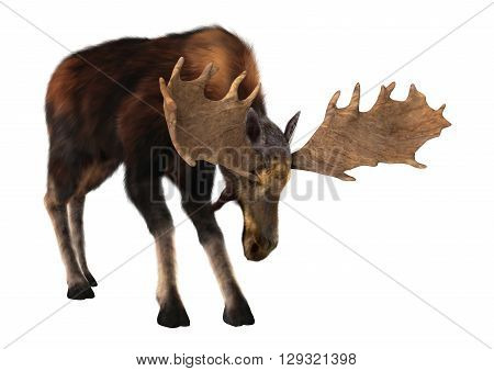 3D Rendering Male Moose On White
