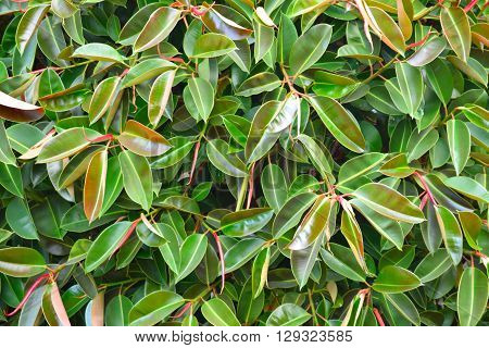 grand ficus rubber tree photographed up close