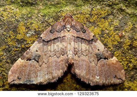 Shoulder stripe moth (Earophila badiata). British insect in the family Geometridae the geometer moths