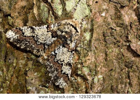 Oak beauty moth (Biston strataria). British insect in the family Geometridae the geometer moths