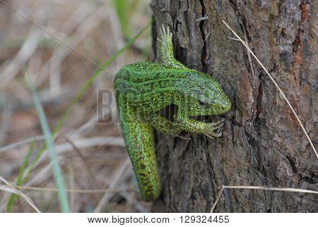 Green lizard in the national Park Meschersky. Green lizard on a background of pine bark.