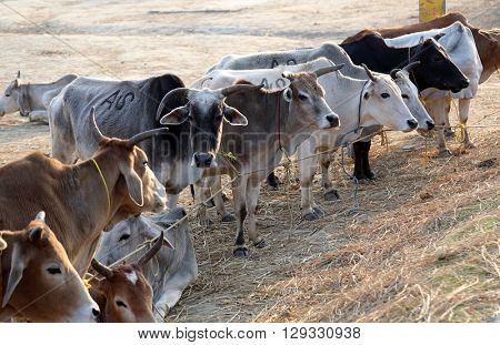 KUMROKHALI, INDIA - FEBRUARY 13: A group of cow resting in a field in village Kumrokhali, West Bengal, India on February 13, 2014