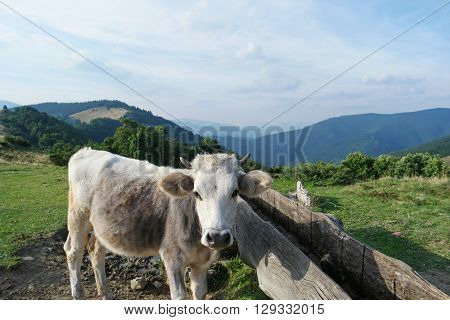 Close shoot of cow standing in the mountain pasture Ukraine