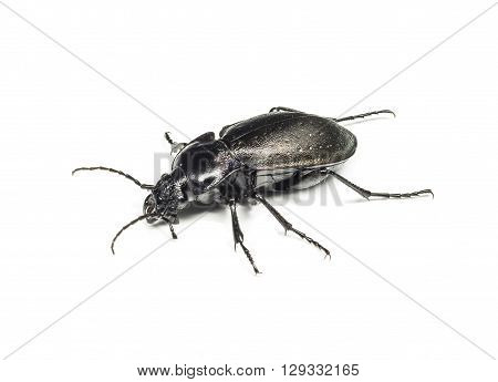 Bug black  insulate on white  background  frontal