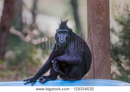 Crested Macaque Portrait.
