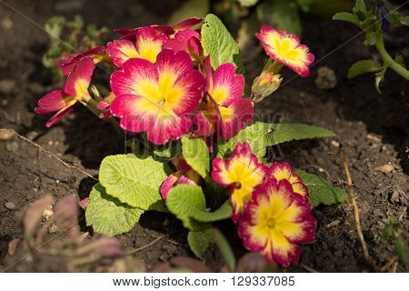 Violaceae,domestic violets,violets and flowers,waking up,flowering, flower,colorful,floral palette.