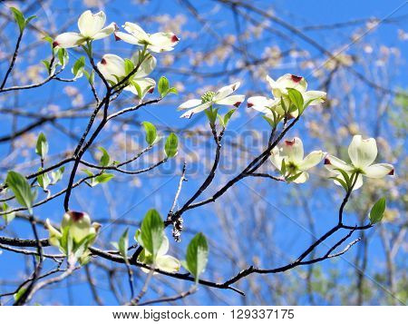 Dogwood flowers in forest of Mclean near Washington DC 13 April 2016 USA