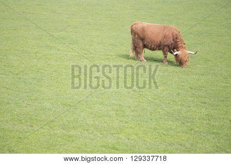 Lonely Bull grazing in an open field